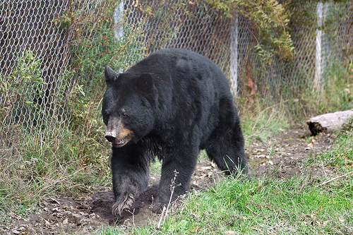 Black bear - wild turkey applications due