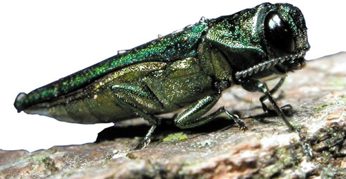 Waupaca County one of the latest to discover emerald ash borer