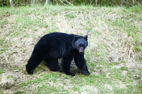 As bear hunting season opens, Shawano County lies in the middle