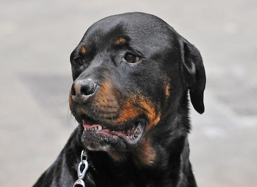 Rottweiler takes over woman's car