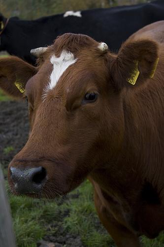 Dew Good Holsteins