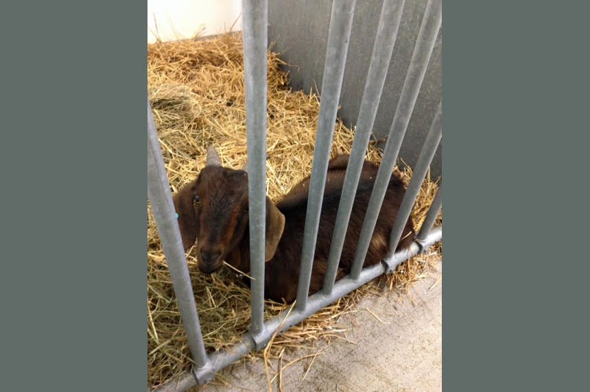Tim Horton's goat was kidnapped, says U of S rodeo team