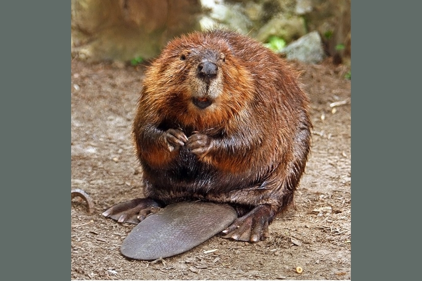 1st Sask. beaver derby nabs 600 rodents