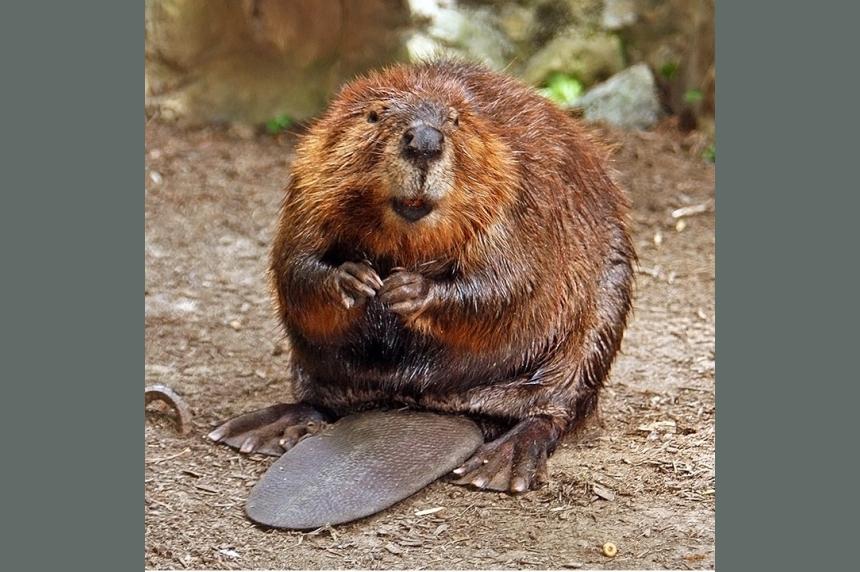 City of Regina monitoring beaver activity around town