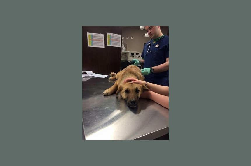 Dog shot with arrow recovering in Lumsden