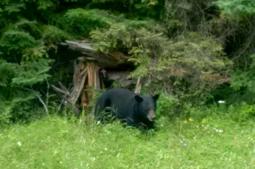 Spotted: bear roams in Douglas Provincial Park