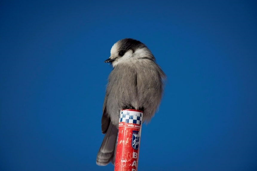 Hardy, tough, friendly: push to make grey jay Canada's national bird