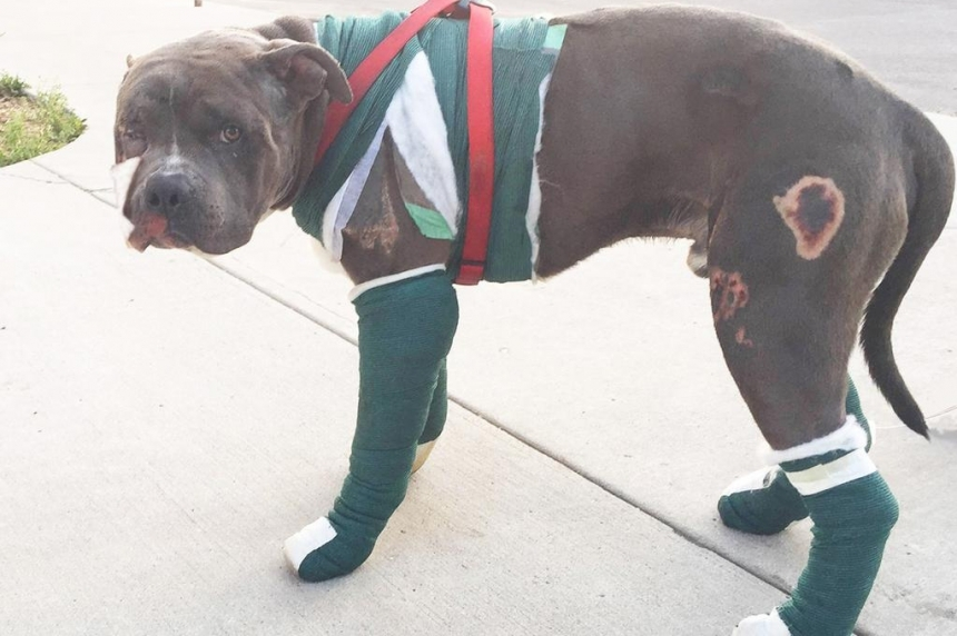 Seriously-injured pit bull back with owners