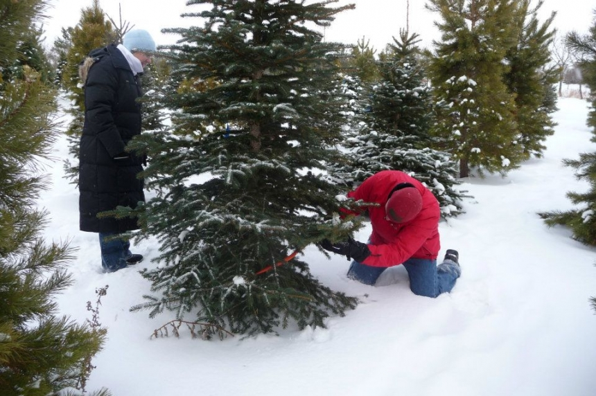 Busiest weekend of the year for Christmas tree farms