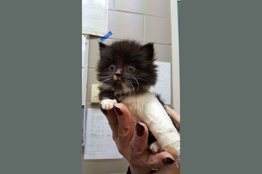 Saskatoon SPCA puts out call to help injured kitten