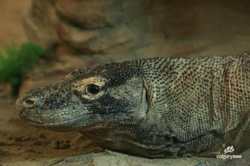 Komodo dragon exhibit opening April 1 in Saskatoon