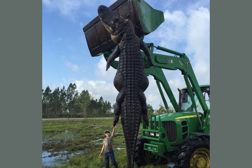 Florida farm captures 15-foot 'baby Godzilla' alligator