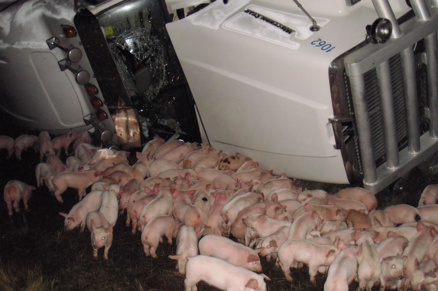 RCMP round up piglets on Trans-Canada Highway after semi rolls