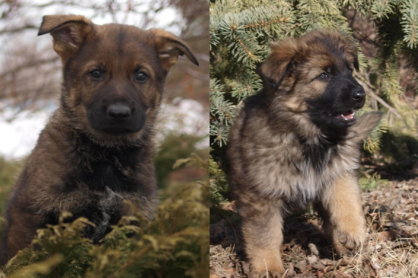 Kaos, Kazoo among winning names chosen for RCMP puppies