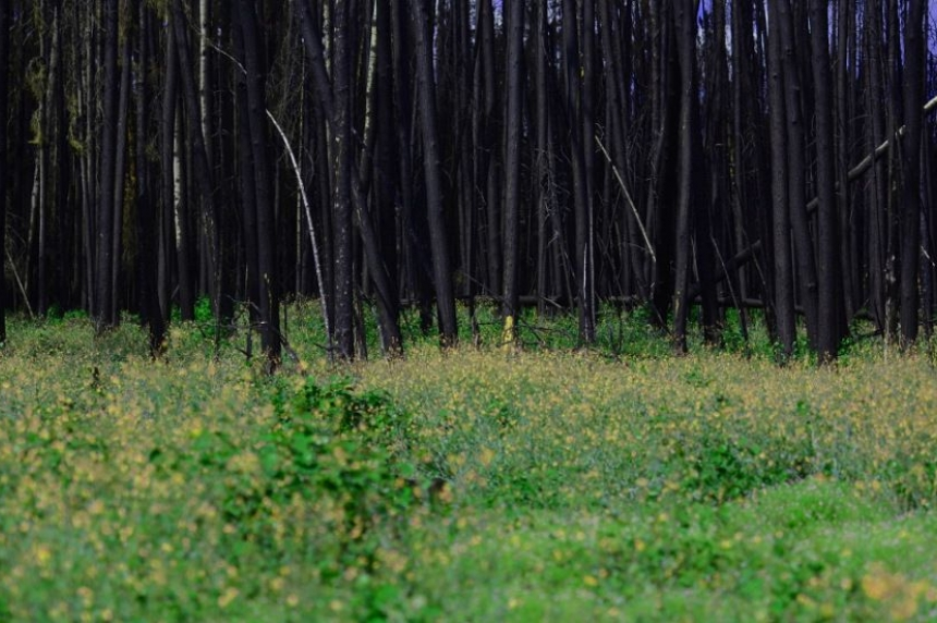 Growing back: forest recovers from 2015 Sask. wildfires