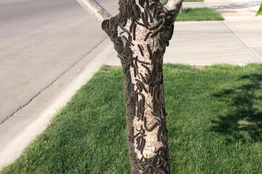 Warm weather brings early spike of tent caterpillars to Regina