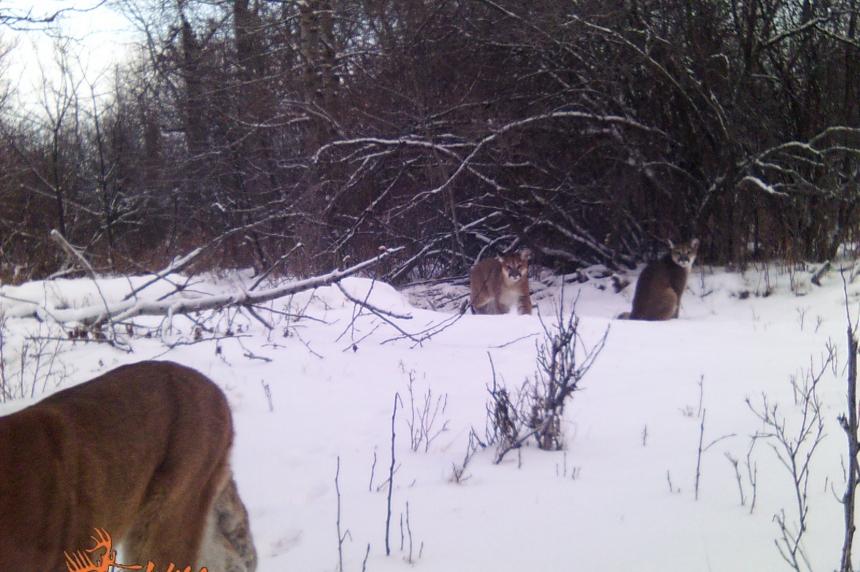 Increased cougar sightings around Maple Creek sparks concern