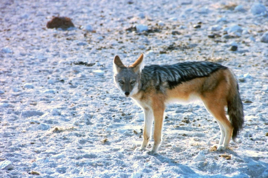 Coyotes showing up in Wascana Park
