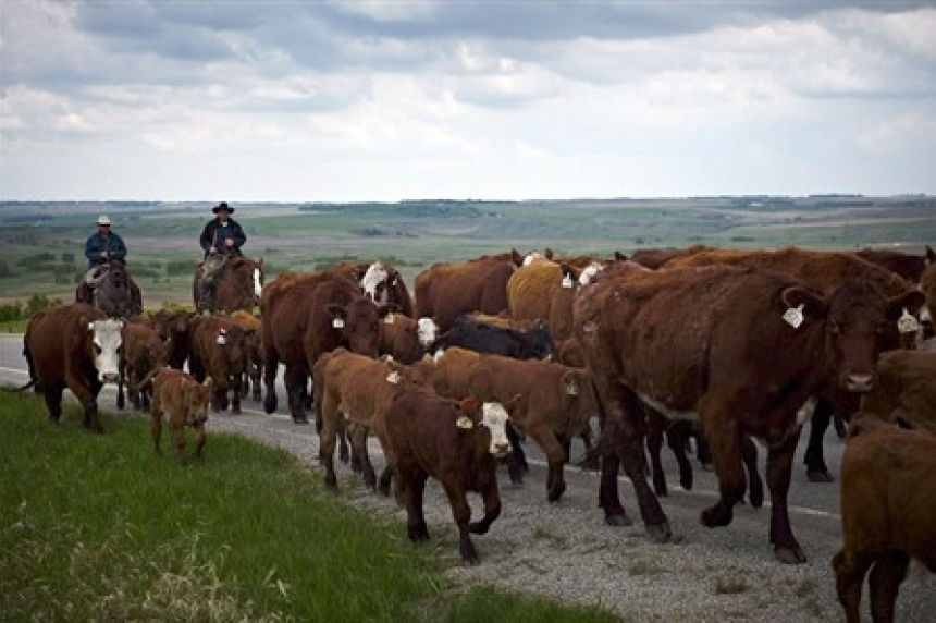 Sask. cattle rancher says high store prices not reaching producers