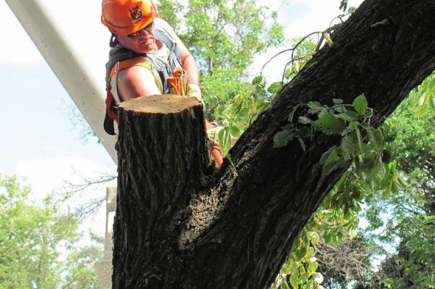 Saskatoon finds no other cases of Dutch elm disease