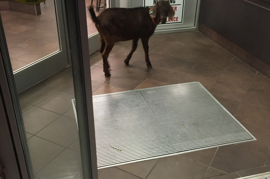 RCMP escort determined goat from Martensville Tim Hortons
