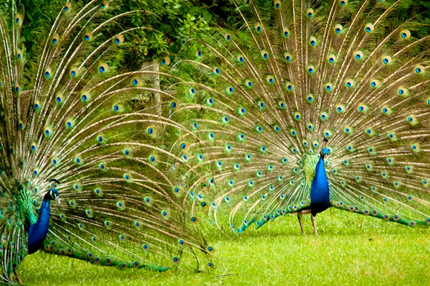 Forestry Farm peacocks moved for ethical reasons: manager