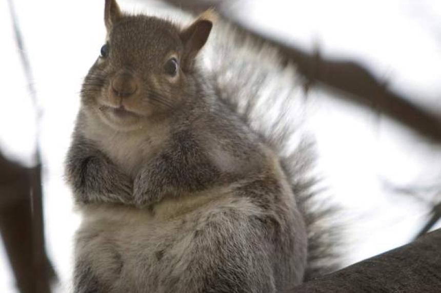 Squirrel suspected in Moose Jaw break and enter