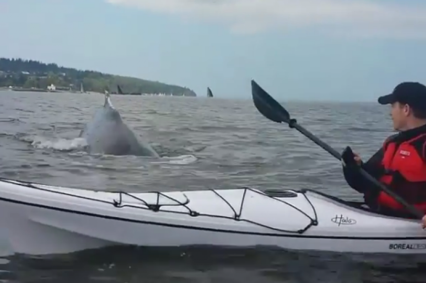 Video shows Vancouver kayaker's close encounter with humpback whale