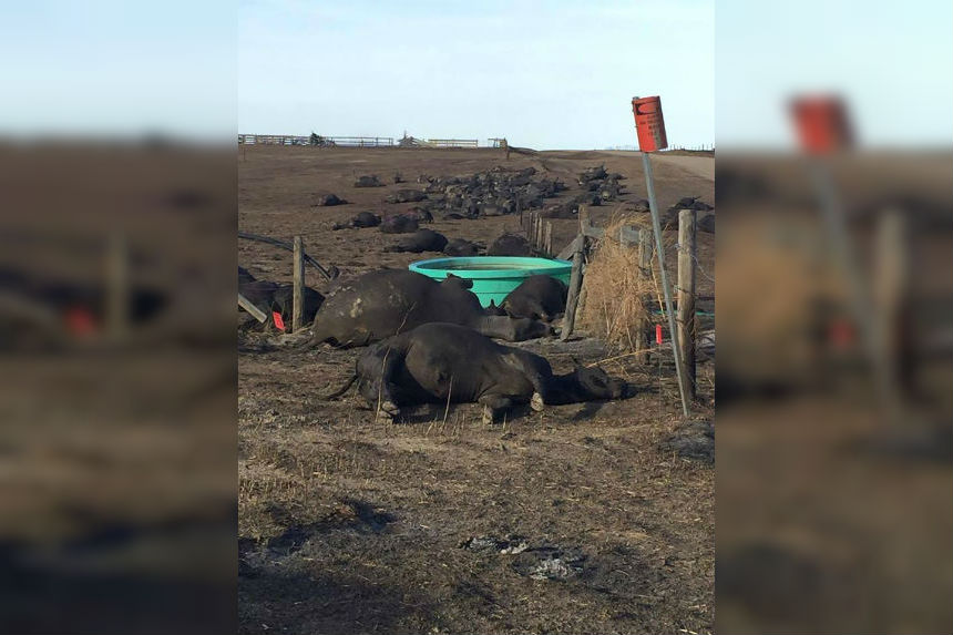 Fires may have devastating impact on beef producers