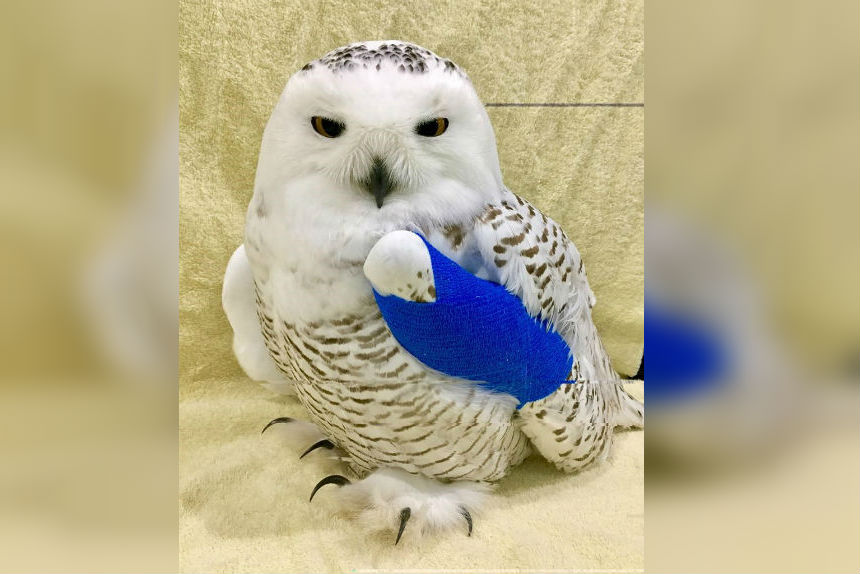 Rescuer says snowy owl pulled from SUV grille in Saskatchewan is healing