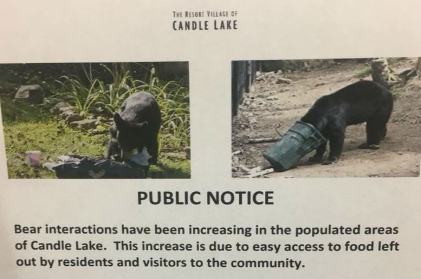 Bears killed, trapped with more sightings in Candle Lake