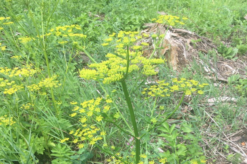What you should know about wild parsnip