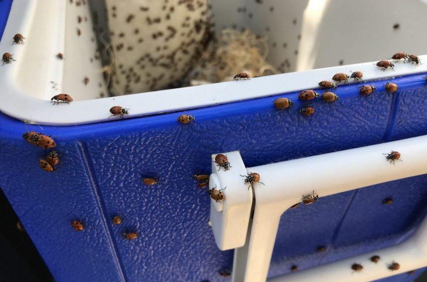 Kids help release thousands of ladybugs in Regina