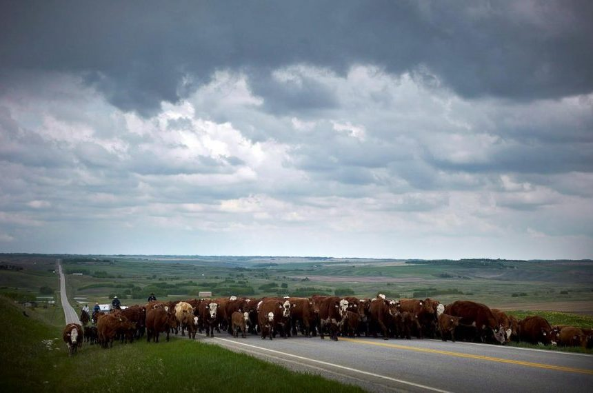 Canada's cattle producers tightening their belts as drought diminishes pastures