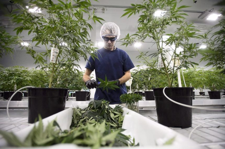 Pot workers won't automatically be denied entry into U.S., border agency says