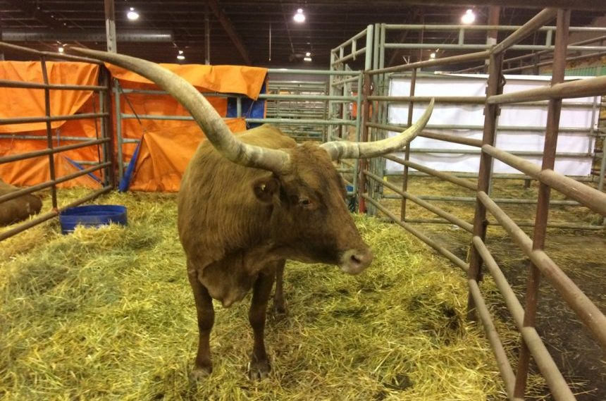 Agribition to feature Texas longhorns, alpacas and mental health