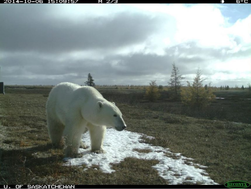 Three bear species found in the same spot in northern Manitoba