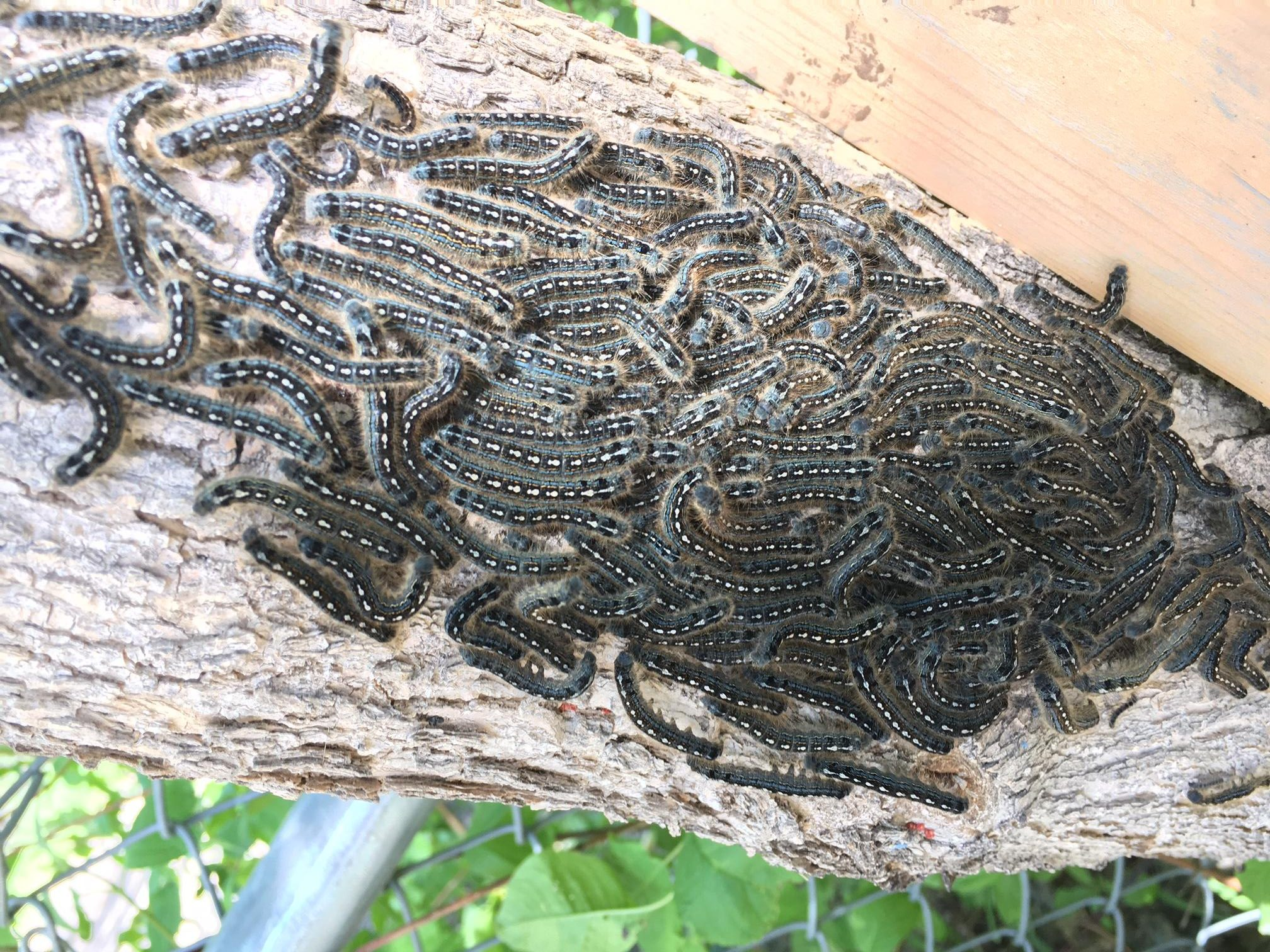 Ick factor: Tent caterpillars invade Sask.