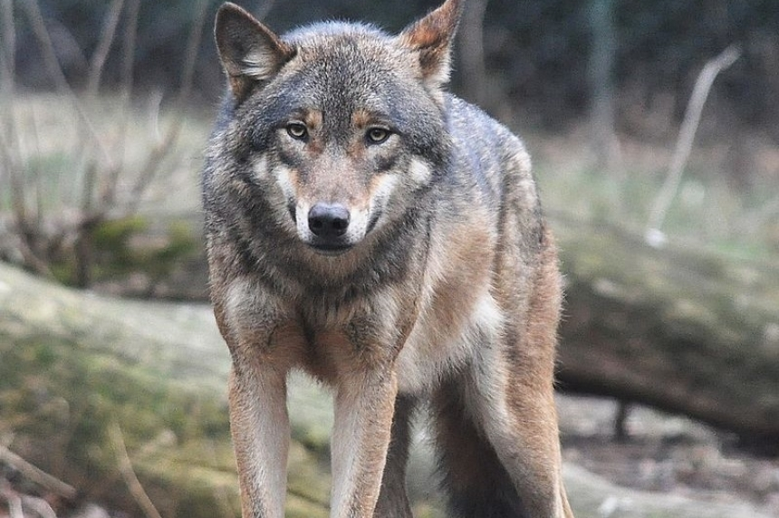 Contractor mauled by wolf at Cigar Lake mine