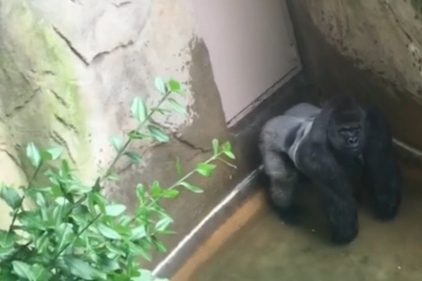 'Mommy loves you': Boy rescued after gorilla is shot at zoo