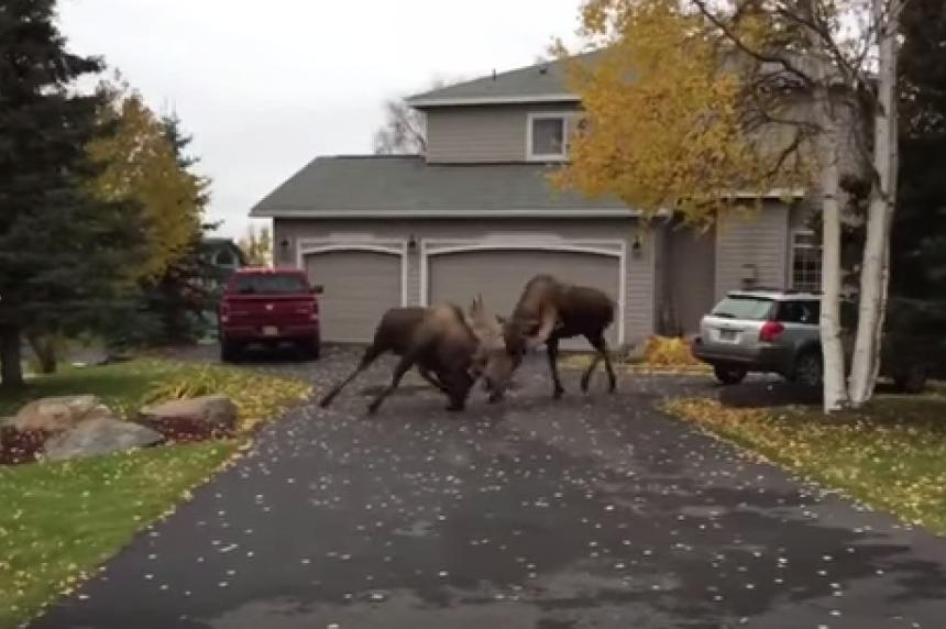 Moose brawl in Alaska street