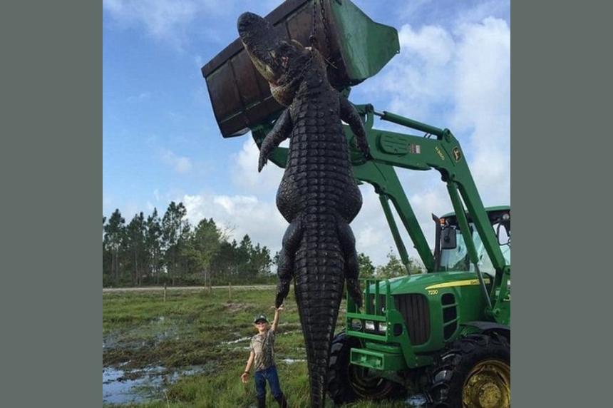 Florida farm captures 15-foot 'baby Godzilla' alligator