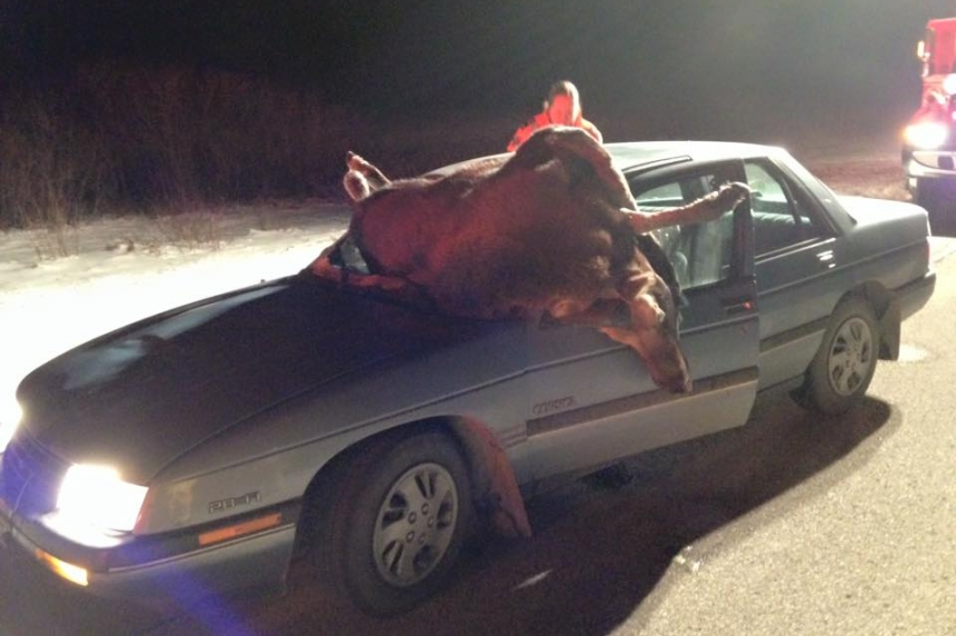 Moose collide with cars on Highway 5 near Wadena