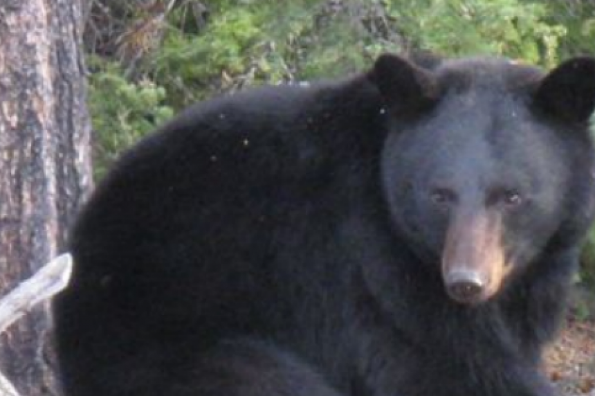 Don't play dead: province warns about bears, cougars