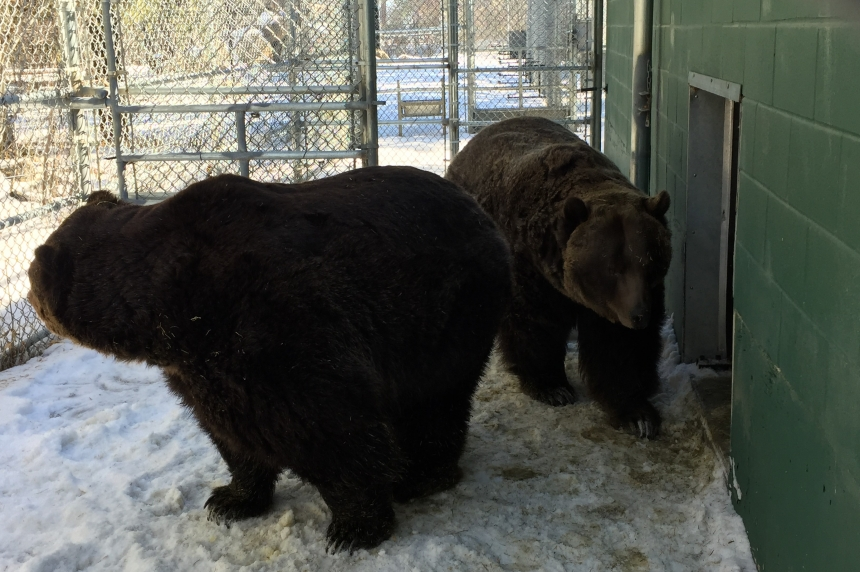 Spring wake-up call for hibernating bears at Saskatoon zoo