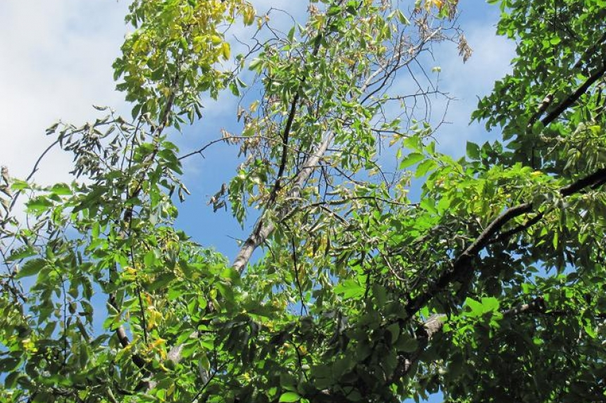 3 Regina trees cut down because of Dutch elm disease