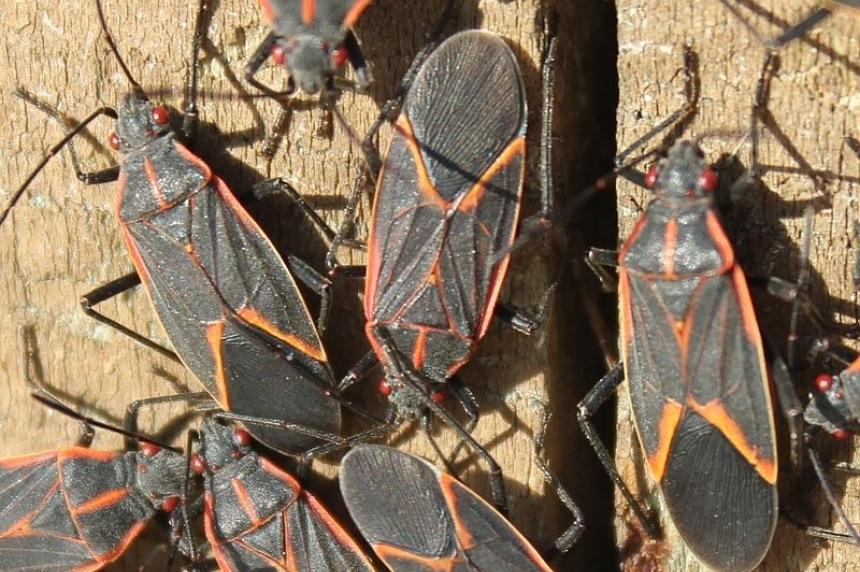 Maple bugs taking over Regina