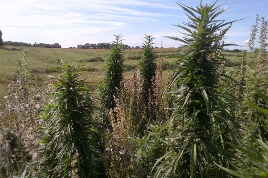 Maidstone RCMP investigate suspected marijuana plants on farmer's field