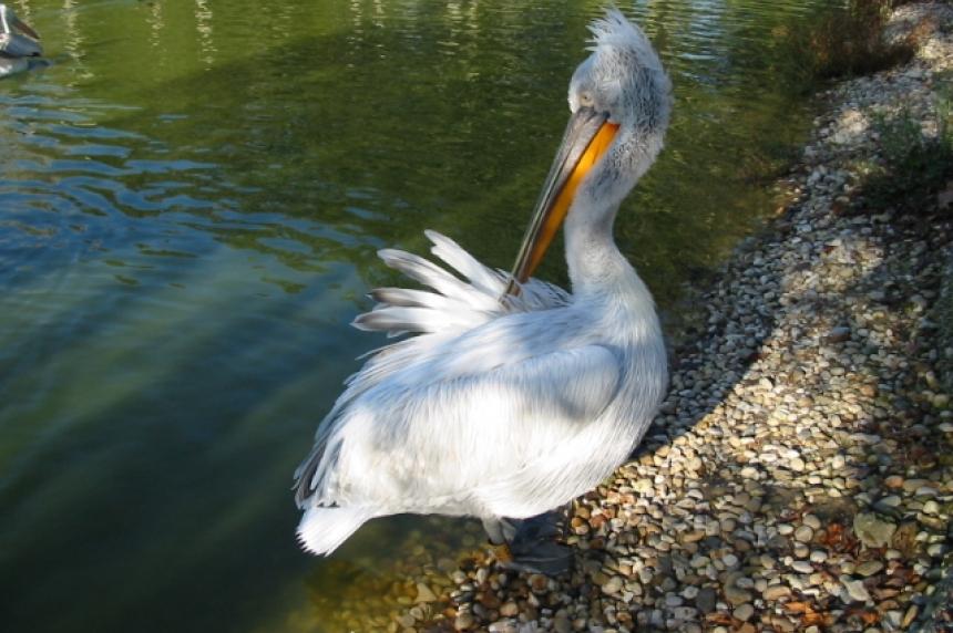 First pelican touches down in Saskatoon