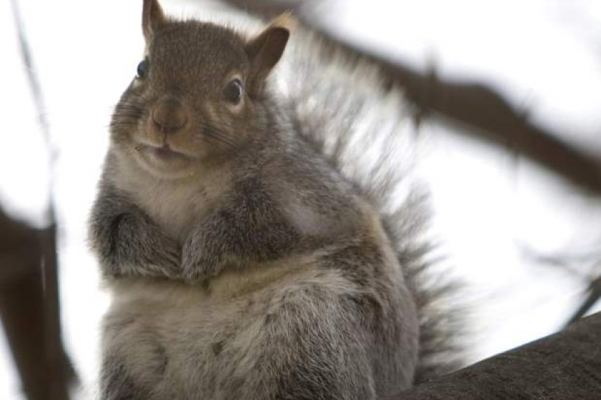 Squirrel suspected in Moose Jaw break and enter